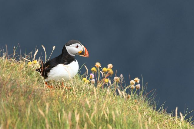 Puffin Cliffs of Moher Ireland